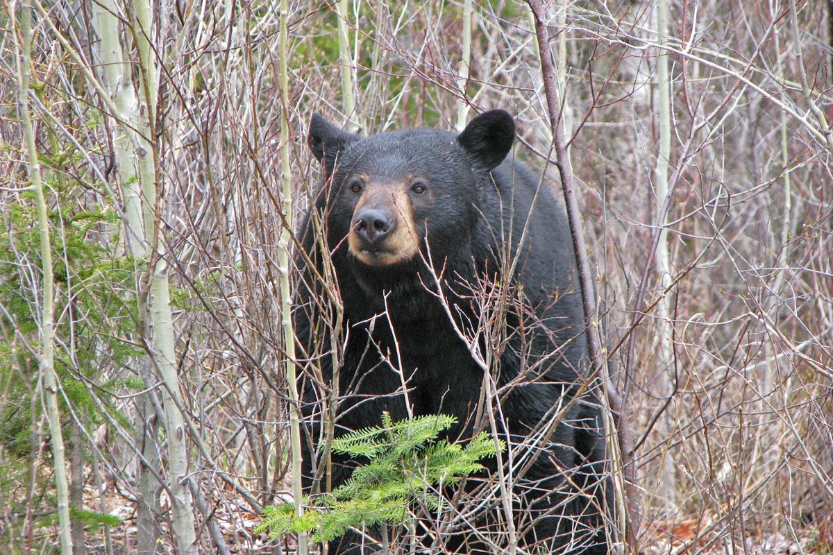 Bear Hunting Territory