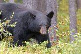 Bear Hunting Good Times