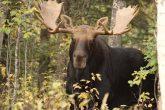 The Majestic Moose